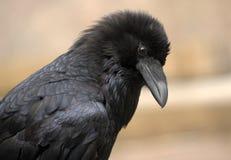 Primo piano del corvo Fotografia Stock Libera da Diritti