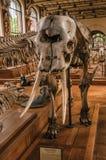 Primo piano del cranio dell'elefante al corridoio in galleria di paleontologia e di anatomia comparativa a Parigi Immagine Stock
