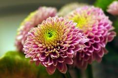 Primo piano del crisantemo Fotografie Stock
