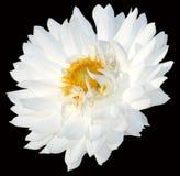 Primo piano del crisantemo Fotografia Stock Libera da Diritti