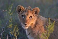 Primo piano del cub di leone Immagine Stock Libera da Diritti
