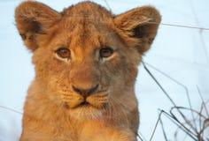 Primo piano del cub di leone (panthera leo) Fotografie Stock
