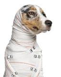 Primo piano del cucciolo australiano del pastore fotografie stock