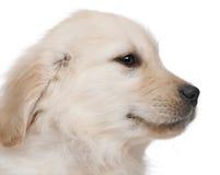 Primo piano del cucciolo del documentalista dorato Fotografia Stock