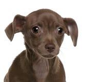 Primo piano del cucciolo della chihuahua, 4 mesi Fotografie Stock