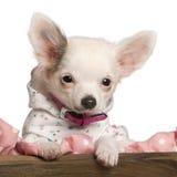 Primo piano del cucciolo della chihuahua, 4 mesi Immagini Stock Libere da Diritti