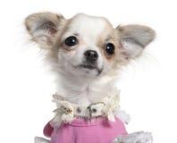 Primo piano del cucciolo della chihuahua in vestito dentellare immagini stock libere da diritti