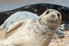 Primo piano del cucciolo di foca Fotografia Stock