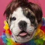 Primo piano del cucciolo inglese del bulldog che porta una parrucca Immagini Stock