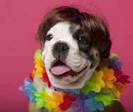 Primo piano del cucciolo inglese del bulldog che porta una parrucca Immagine Stock