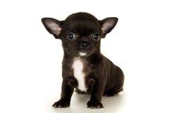 Primo piano del cucciolo nero della chihuahua immagine stock