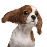 Primo piano del cucciolo sprezzante dello Spaniel di re Charles Fotografia Stock Libera da Diritti