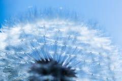 Primo piano del dente di leone, cielo blu Priorità bassa della sorgente Immagini Stock Libere da Diritti