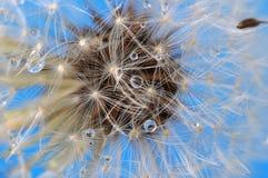Primo piano del dente di leone su cielo blu fotografia stock
