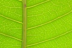 Primo piano del dettaglio verde della foglia del mango Fotografia Stock