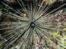Primo piano del diadema setosum del riccio di mare Immagini Stock