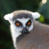 Primo piano del facial delle lemure catta Immagini Stock
