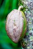 Primo piano del fagiolo del cacao dall'albero di cioccolato fotografia stock
