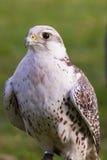 Primo piano del falco di caccia Immagini Stock