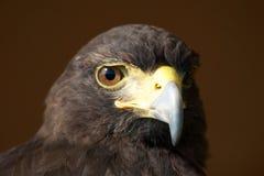 Primo piano del falco di Harris che fissa alla macchina fotografica Immagine Stock