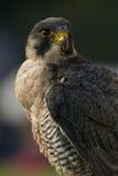 Primo piano del falco pellegrino che esamina distanza Immagine Stock