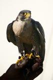 Primo piano del falco pellegrino sul guanto di caccia col falcone Fotografia Stock