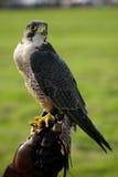Primo piano del falco pellegrino sul guanto di cuoio Fotografia Stock Libera da Diritti