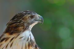 Primo piano del falco pescatore con un fondo pulito Immagini Stock Libere da Diritti