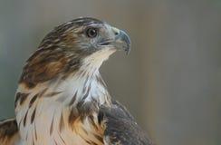 Primo piano del falco pescatore con un fondo pulito Fotografia Stock Libera da Diritti