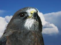 Primo piano del falco su cielo blu Fotografia Stock Libera da Diritti