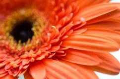 Primo piano del fiore Fotografie Stock