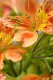 Primo piano del fiore arancio del giglio peruviano Fotografia Stock