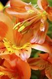 Primo piano del fiore arancio del giglio peruviano Immagine Stock Libera da Diritti