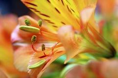 Primo piano del fiore arancio del giglio peruviano Immagini Stock Libere da Diritti