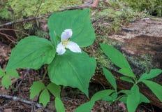 Primo piano del fiore bianco Fotografia Stock Libera da Diritti