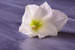Primo piano del fiore bianco dell'amarillide fotografia stock