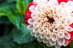 Primo piano del fiore bianco e rosso bicolore della dalia dopo la pioggia Immagini Stock Libere da Diritti