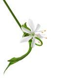 Primo piano del fiore, Chlorophytum Fotografia Stock Libera da Diritti