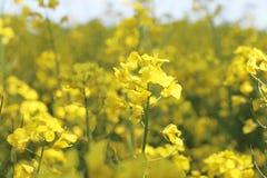 Primo piano del fiore del Canola Fotografie Stock Libere da Diritti
