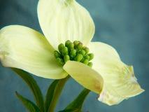 Primo piano del fiore del corniolo Fotografia Stock Libera da Diritti