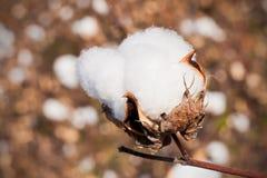 Primo piano del fiore del cotone Fotografie Stock