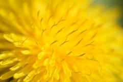 Primo piano del fiore del dente di leone Fotografia Stock