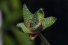 Primo piano del fiore del fiore del cactus Fotografia Stock Libera da Diritti