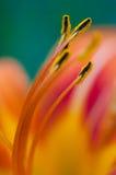 Primo piano del fiore del giglio Fotografia Stock