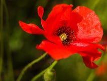 Primo piano del fiore del papavero Fotografia Stock