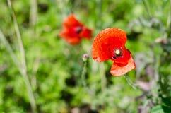 Primo piano del fiore del papavero Immagine Stock