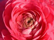 Primo piano del fiore del ranunculus fotografia stock