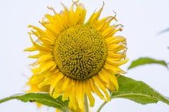 Primo piano del fiore del sole Fotografia Stock Libera da Diritti