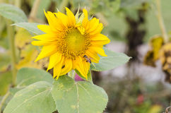 Primo piano del fiore del sole Immagine Stock Libera da Diritti