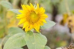 Primo piano del fiore del sole Immagini Stock Libere da Diritti